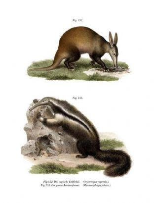 Cape Ant-Eater  (Orycteropus Capensis) & Great Anteater (Myrmecophaga Jubata )
